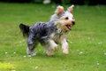 Running Yorkshire Terrier Stock Photo