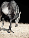 Running young arabian filly isolated at black outdoor sunny day Stock Image