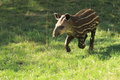 Running young lowland tapir in the grass Royalty Free Stock Images