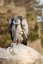 Ruppell's Griffon Vulture Royalty Free Stock Photo