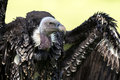 Ruppell`s griffon vulture Gyps rueppellii Royalty Free Stock Photo