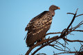 Ruppell's Vulture Kenya East Africa Stock Images