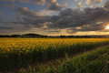 Rural counttryside landscape and golden canola Royalty Free Stock Photo