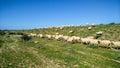 Rural economy. Sheep and breeding Royalty Free Stock Photo