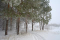 Rural foggy landscape with pines in winter Stock Photography