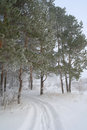 Rural foggy landscape with pines in winter Royalty Free Stock Photo