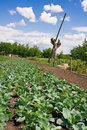 Rural garden bed of cabbage well under blue sky Royalty Free Stock Photos