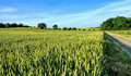 Green and golden wheat fields in early summer Royalty Free Stock Photo