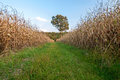 Rural path between two corn fields Royalty Free Stock Photo