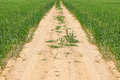 Rural road curved along a green wheat field israel Stock Image