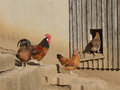 Rural scene cock hens henhouse with happy chickens and one hen just entering Stock Photo