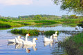 Rural summer landscape domestic white geese in the river swimming Royalty Free Stock Images