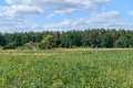 Rural summer landscape with pine forest on the horizon Royalty Free Stock Photos