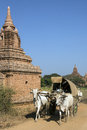 Rural transport bagan myanmar burma farmers on the way to market in bullock drawn carts in Royalty Free Stock Images
