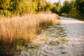 Rural White Sandy Road Going Ahead Along The Growing Yellow Thick Royalty Free Stock Photo