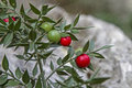 Ruscus aculeatus with berries