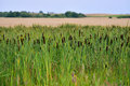Rush reeds field of in rural landscape Stock Images