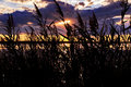 Rushes silhouetted in the sunset the camargue near arles france Royalty Free Stock Photo