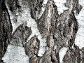 Russian birch bark Royalty Free Stock Photo