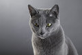 Russian blue Cat Royalty Free Stock Photo