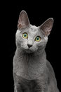 Russian blue cat with amazing green eyes on isolated black background