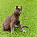 Russian blue cat on grassy lawn Royalty Free Stock Images