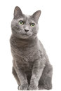 Russian blue cat with green eyes sitting on isolated white Stock Photography