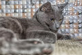 Russian blue cat lie on the carpet Royalty Free Stock Photo