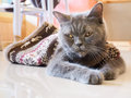 Russian blue cat squint pattaya thailand december lay down on floor Stock Photo