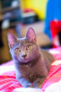 Russian Blue - cute cat Stock Photography