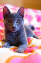 Russian Blue - cute kitten Royalty Free Stock Image