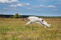 Russian borzoi dog running in the field Royalty Free Stock Photo