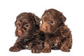 Russian color lap dog puppies in studio on a neutral background Royalty Free Stock Images
