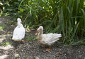 Russian Cresteds ducks Royalty Free Stock Photo