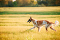 Russian Dog, Borzoi Running In Summer Sunset Sunrise Meadow Royalty Free Stock Photo