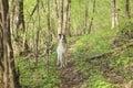 Russian greyhound Royalty Free Stock Photo