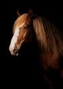 Russian heavy draught horse Royalty Free Stock Photo