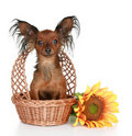 Russian long-haired toy terrier Royalty Free Stock Image