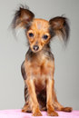 Russian long-haired toy terrier on pink pillow Stock Image