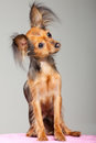Russian long-haired toy terrier on pink pillow Royalty Free Stock Photo