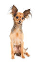 Russian long-haired toy terrier on white Royalty Free Stock Photo