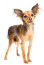 Russian long-haired toy terrier on white Stock Photos