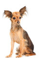 Russian long-haired toy terrier on white Royalty Free Stock Photography