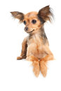 Russian long-haired toy terrier on white Royalty Free Stock Image