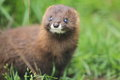 Russian mink the detail of gazing Stock Photography