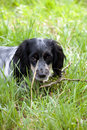 Russian spaniel Royalty Free Stock Images
