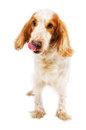 Russian Spaniel licking nose Royalty Free Stock Photo