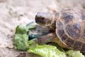 Russian tortoise Stock Photography