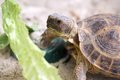Russian tortoise Stock Photos