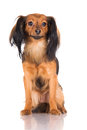 Russian toy terrier dog red breeed Stock Images